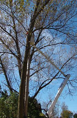 Tree being removed by a tree trimmer in an aerial bucket truck.