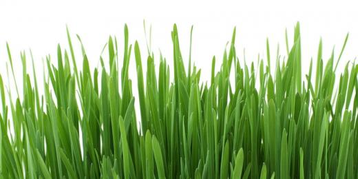Lush green grass against a white background.