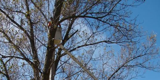 Man in a cherry picker trimming a large tree.